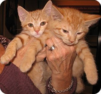 Domestic Shorthair Kitten for adoption in Colmar, Pennsylvania - Manny and Marco