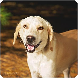 Labrador Retriever Mix Dog for adoption in Cincinnati, Ohio - Labby