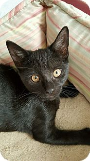 Domestic Shorthair Cat for adoption in Staten Island, New York - Sandy, Sienna and Slater