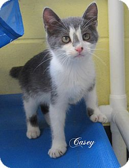 Domestic Shorthair Kitten for adoption in Jackson, New Jersey - Casey