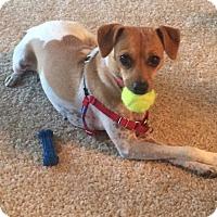 Adopt A Pet :: Ginger - Colorado Springs, CO