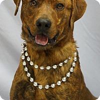 Plott Hound Mix Dog for adoption in Newnan City, Georgia - Tuck aka Stanley
