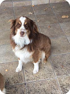 Australian Shepherd Dog for adoption in Albuquerque, New Mexico - Marcus