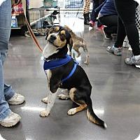 Adopt A Pet :: Bailey - joliet, IL