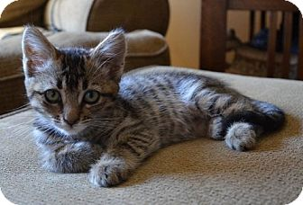 Domestic Shorthair Kitten for adoption in Davis, California - Purrty Girl
