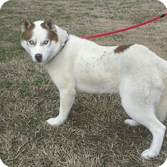 Husky Dog for adoption in Ridgely, Maryland - Thor