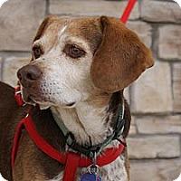 Adopt A Pet :: Shelbie - Norman, OK