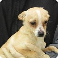 Adopt A Pet :: Vinni - Seattle, WA