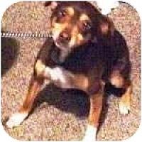 Adopt A Pet :: BRANDI - Gilbert, AZ
