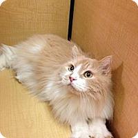 Adopt A Pet :: Calvin - Modesto, CA