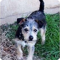 Adopt A Pet :: Hiccup - San Angelo, TX