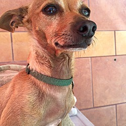 Photo 1 - Chihuahua Mix Dog for adoption in North Hollywood, California - Amy & Wally