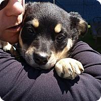 Adopt A Pet :: SOPHIA - Gustine, CA