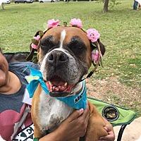 Adopt A Pet :: Merle - Austin, TX