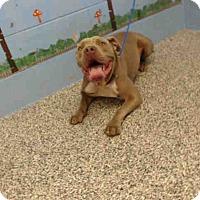 Pit Bull Terrier Mix Dog for adoption in San Bernardino, California - URGENT on 9/9 SAN BERNARDINO
