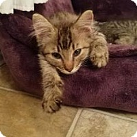 Adopt A Pet :: Wendigo - Fort Collins, CO