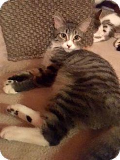 Domestic Shorthair Kitten for adoption in Colmar, Pennsylvania - Chester
