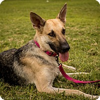German Shepherd Dog Mix Dog for adoption in Phoenix, Arizona - Zya