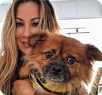 Pekingese/Pomeranian Mix Dog for adoption in Sherman Oaks, California - Harley2