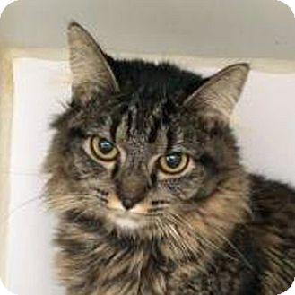 Domestic Mediumhair Cat for adoption in Prescott, Arizona - Star