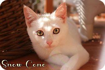 Domestic Mediumhair Kitten for adoption in Benton, Louisiana - Snow Cone