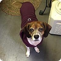Adopt A Pet :: CHICO! - Philadelphia, PA