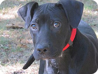 Boxer/Labrador Retriever Mix Puppy for adoption in Columbus, Ohio - Buddy