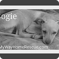 Greyhound/Chihuahua Mix Puppy for adoption in Henderson, Nevada - Bogie