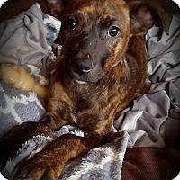 Adopt A Pet :: Bindi - Cleveland, OH