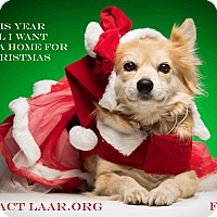 Adopt A Pet :: Foxy - Los Angeles, CA