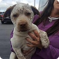 Adopt A Pet :: Norman - Renton, WA