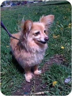 Papillon/Dachshund Mix Dog for adoption in Palatine, Illinois - EMMA