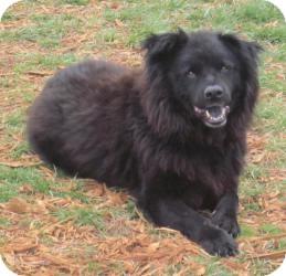 Buddy | Adopted Dog | Rustburg, VA | Chow Chow/Labrador Retriever Mix