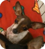 Chihuahua Dog for adoption in Phoenix, Arizona - Kobe - burger brother