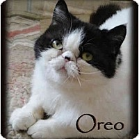 Adopt A Pet :: Oreo (Sponsorship Needed) - Beverly Hills, CA