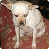 Adopt A Pet :: Lilly - Albany, OR