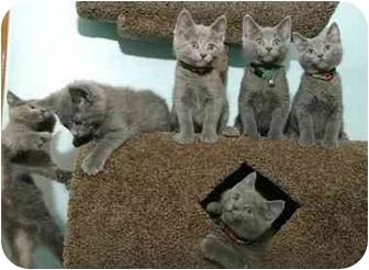 Domestic Shorthair Kitten for adoption in Chicago, Illinois - KITTENS!