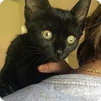 Adopt A Pet :: Inca, Indigo, Inky - Mission Viejo, CA