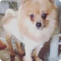 Adopt A Pet :: Cashmere - Pompton Lakes, NJ