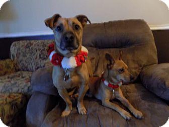 Dachshund/Chihuahua Mix Dog for adoption in Cranston, Rhode Island - Cooper & Chico