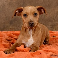 Dachshund/Beagle Mix Dog for adoption in Henderson, Nevada - Little Man (Chestnut)