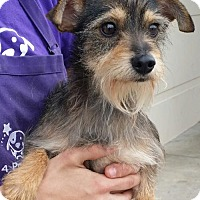 Adopt A Pet :: Nicky 2 - Aurora, CO