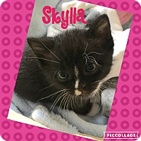 Domestic Shorthair Kitten for adoption in Mount Laurel, New Jersey - Skylla (Hera's babies)