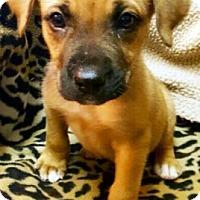 Adopt A Pet :: Boxadors