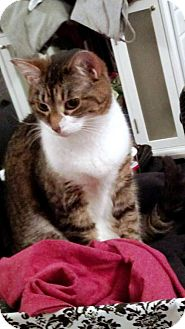 Domestic Shorthair Cat for adoption in Rootstown, Ohio - Zoey-Courtesy Listing