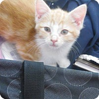 Adopt A Pet :: Baby Oranges - New Richmond,, WI