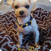 Adopt A Pet :: Truffle - Wellington, FL