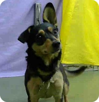 Dachshund Mix Dog for adoption in San Bernardino, California - URGENT on 10/16 @DEVORE