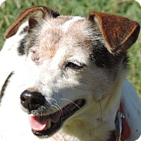 Jack Russell Terrier Mix Dog for adoption in Anderson, South Carolina - Shorty