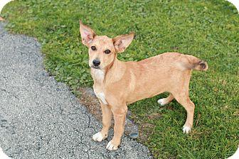 Labrador Retriever/Fox Terrier (Smooth) Mix Puppy for adoption in CHESTERFIELD, Michigan - Bambi
